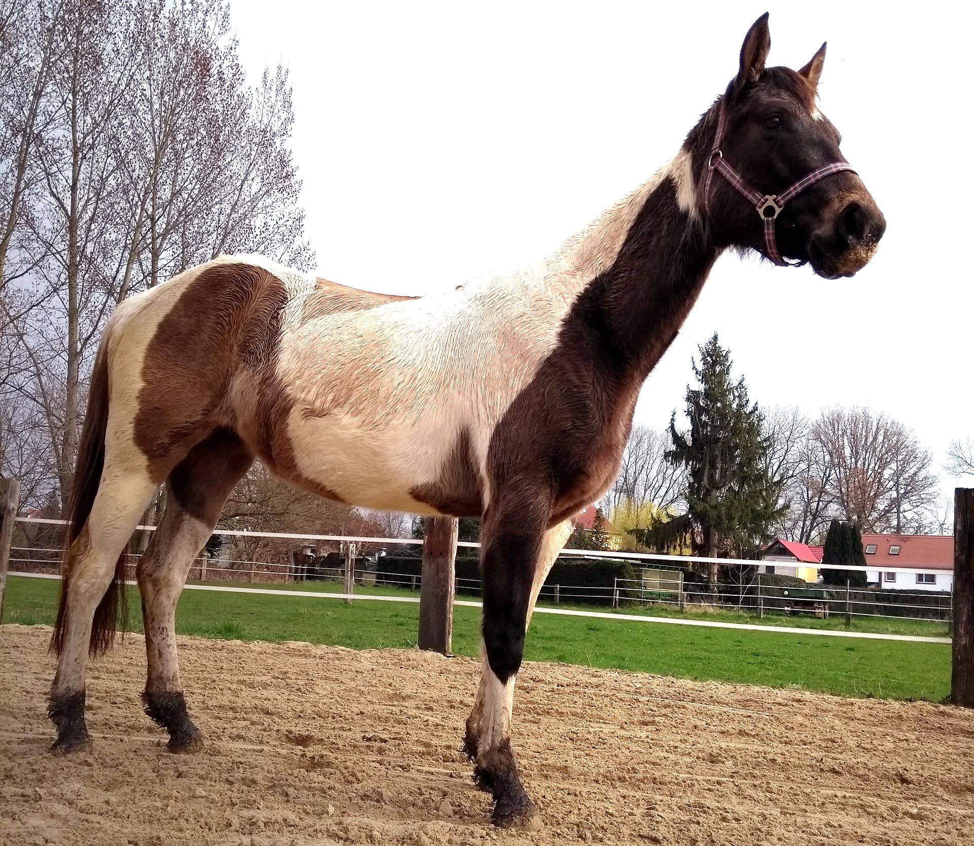 Pferd Dakota auf dem Reitplatz von Grundstein 8
