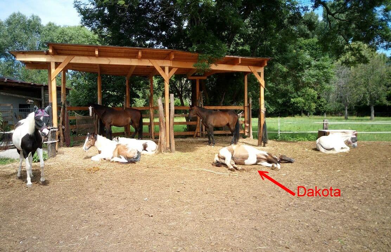 Dakota mit der Herde beim Mittagsschlaf